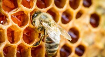 Soigner les plaies avec du miel