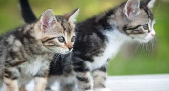 A quel âge stériliser votre chatte ?