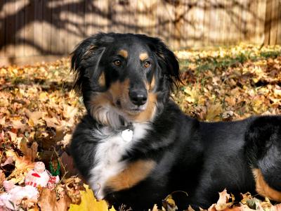 Est-ce que les chiens peuvent attraper la grippe ?