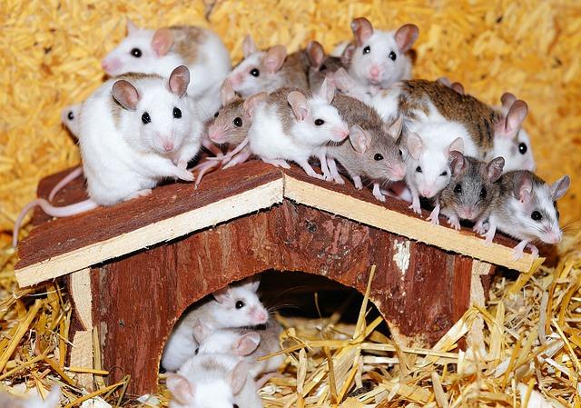 combien de souris par portée