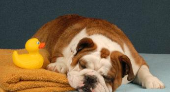 Lire la suite: Comment nettoyer un chien qui a peur de l'eau ?