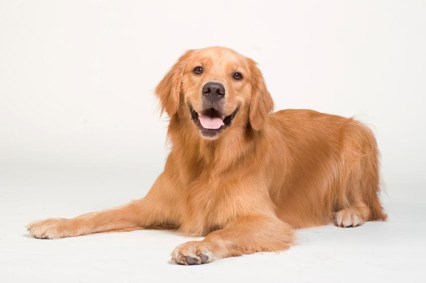 L'hémangiosarcome de la rate chez le chien