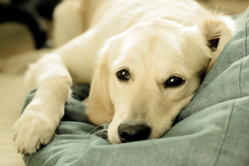 Comment rendre son énergie à un chien paresseux ?