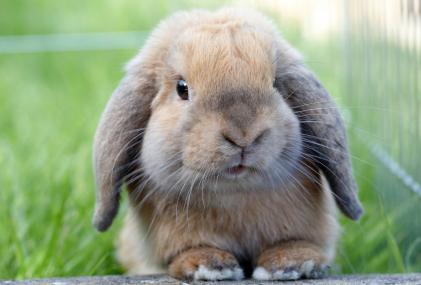Lire la suite: Comment couper les dents de mon lapin ?