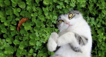 Les maladies transmises par les puces et les tiques chez le chat
