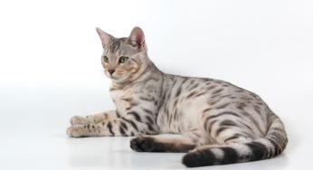 La gestation chez la chatte