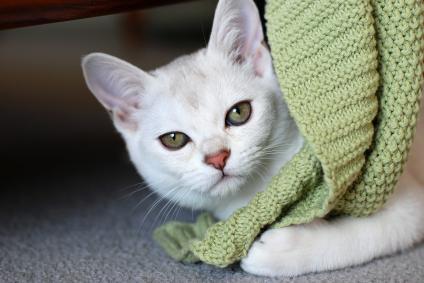 Marqueurs précoces de la maladie rénale chronique du chat