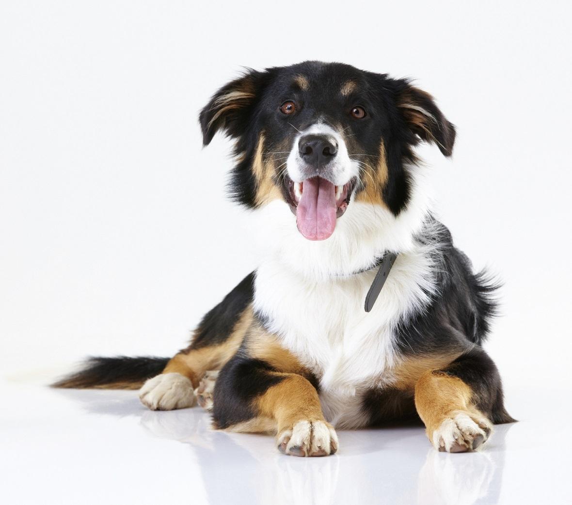 Bien-aimé La croissance chez les chiens de grande race - Le chiot - Santé  CQ67