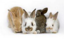 Coryza et pasteurellose chez le lapin