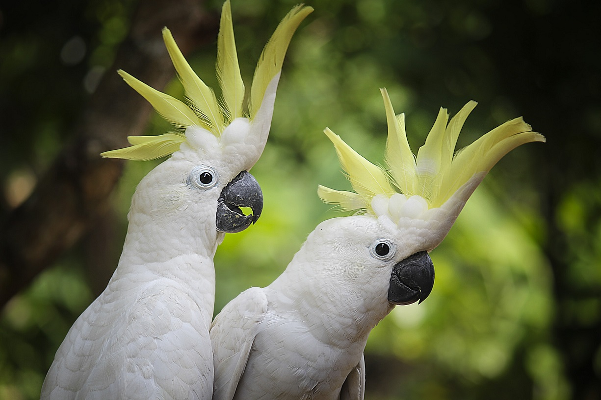 Le prolapsus cloacal chez les oiseaux