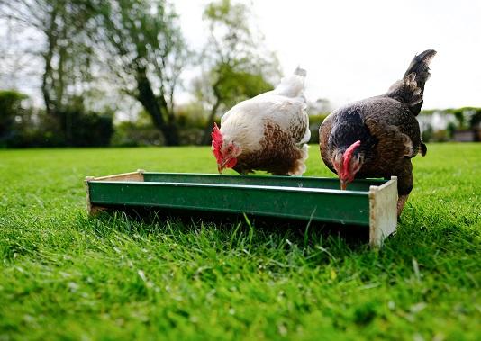 Peut-on donner du pain, des tomates et de la viande aux poules ?