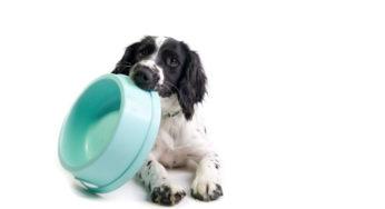 Faut-il humidifier les croquettes pour chien ?