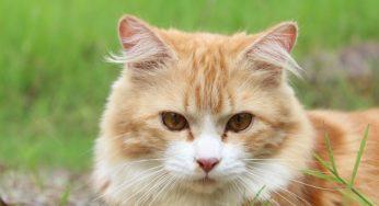Pancréatite du chat