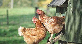 Lire la suite: Introduire une nouvelle poule dans un poulailler