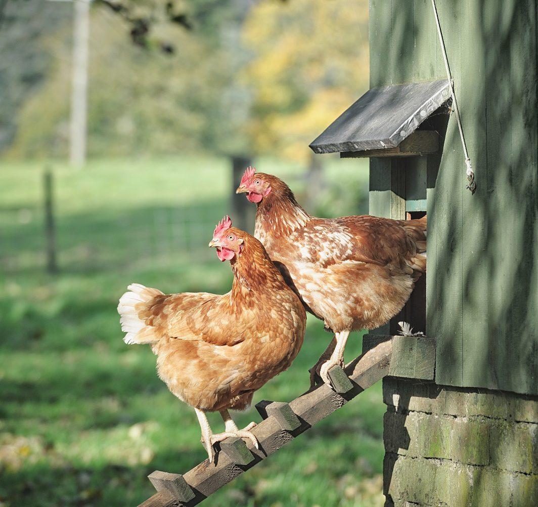 Mettre Des Poules Dans Son Jardin introduire une nouvelle poule dans un poulailler - wanimovéto