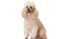 Lire la suite: La maladie parodontale chez le chien : quels sont les risques ?