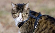 Lire la suite : Comment habituer un chat au harnais ?