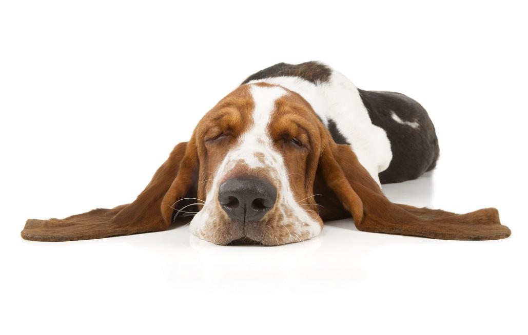 Mon chien rêve et pleure dans son sommeil