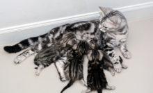 Nourrir une chatte gestante ou allaitante