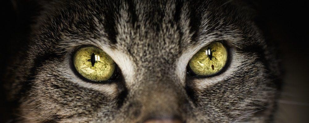 L'hypertension artérielle chez le chat - WanimoVéto